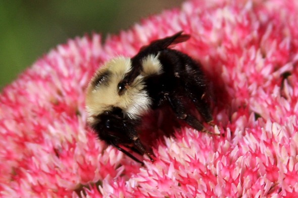 cropped bee on pink flower