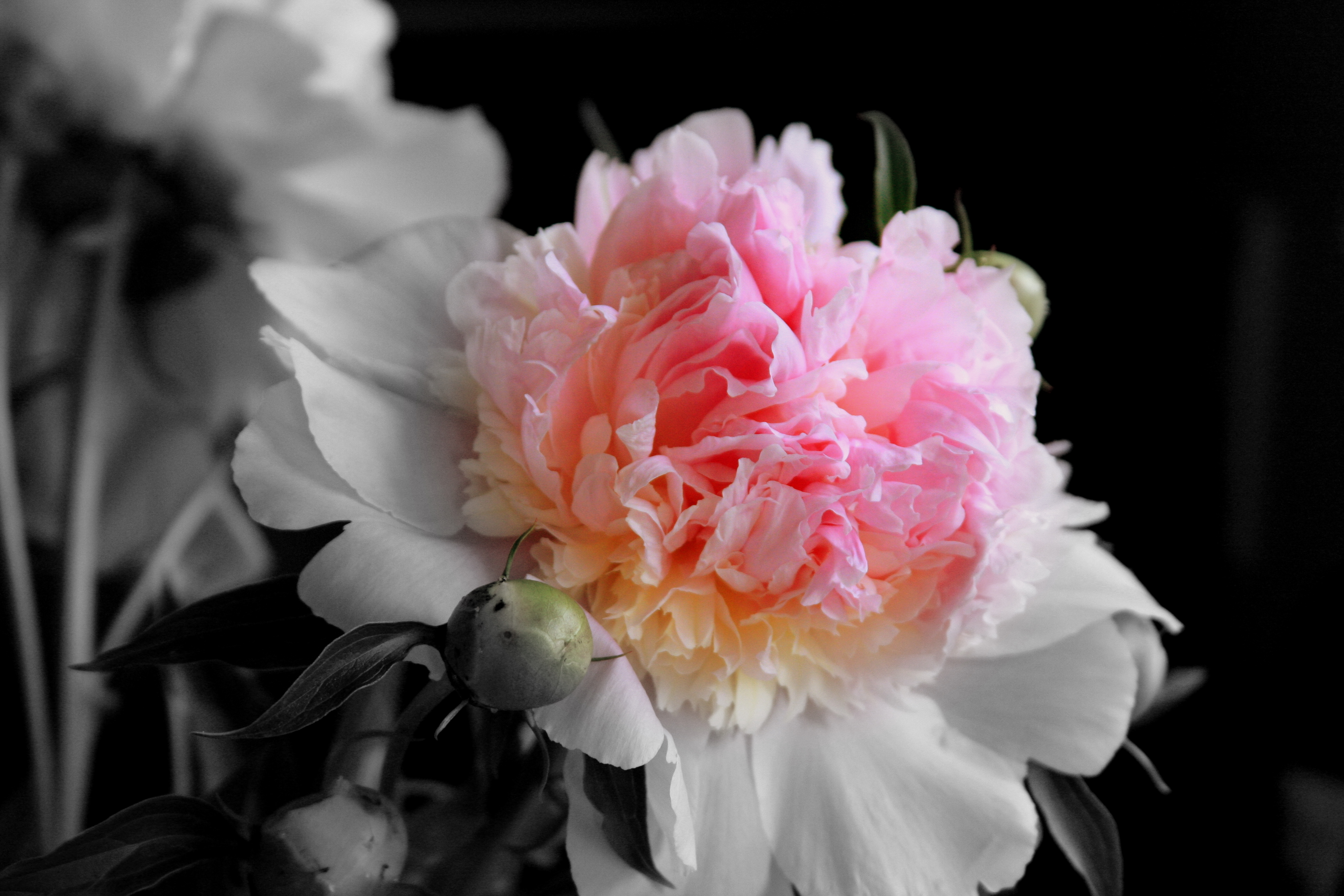 A Peony In Color Fading To Black And White Through My Lens