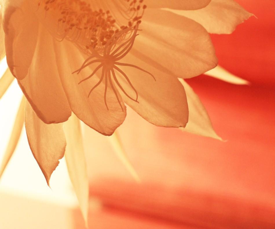 Cereus bloomA
