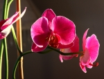 orchid in sunlight4