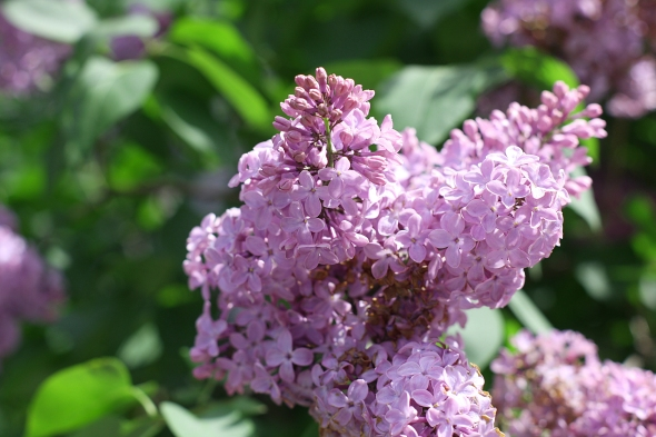 Lilacs...a Sign of Summer...