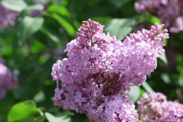 Lilacs...a Sign of Summer...
